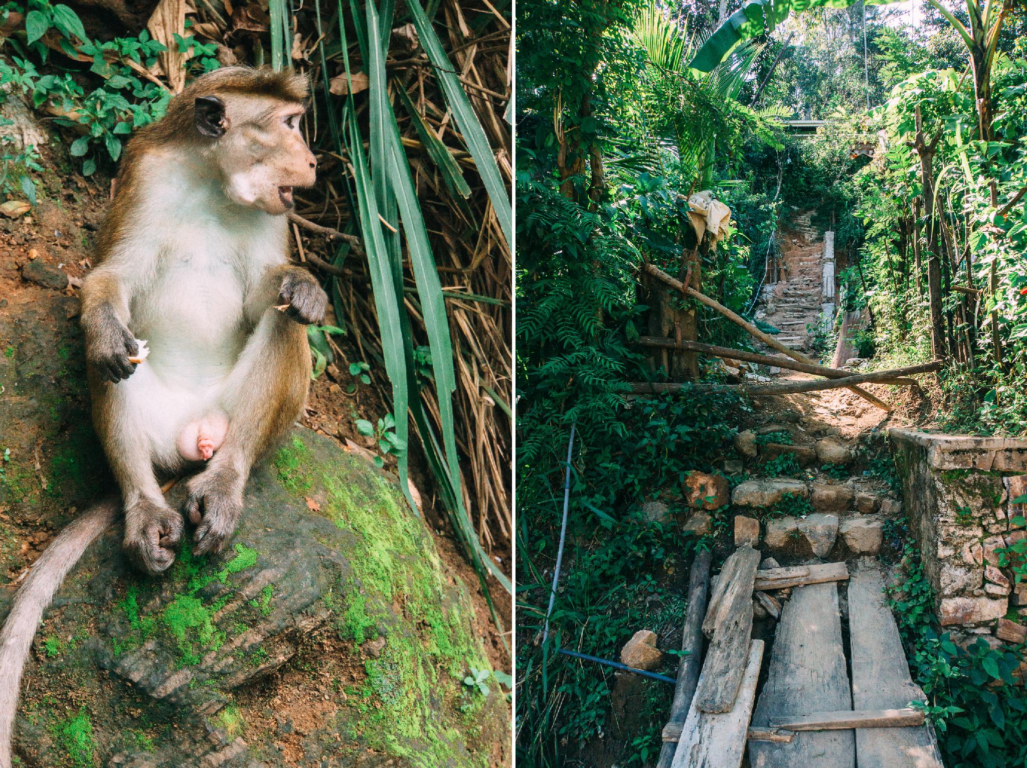 sri-lanka-ella-monkey