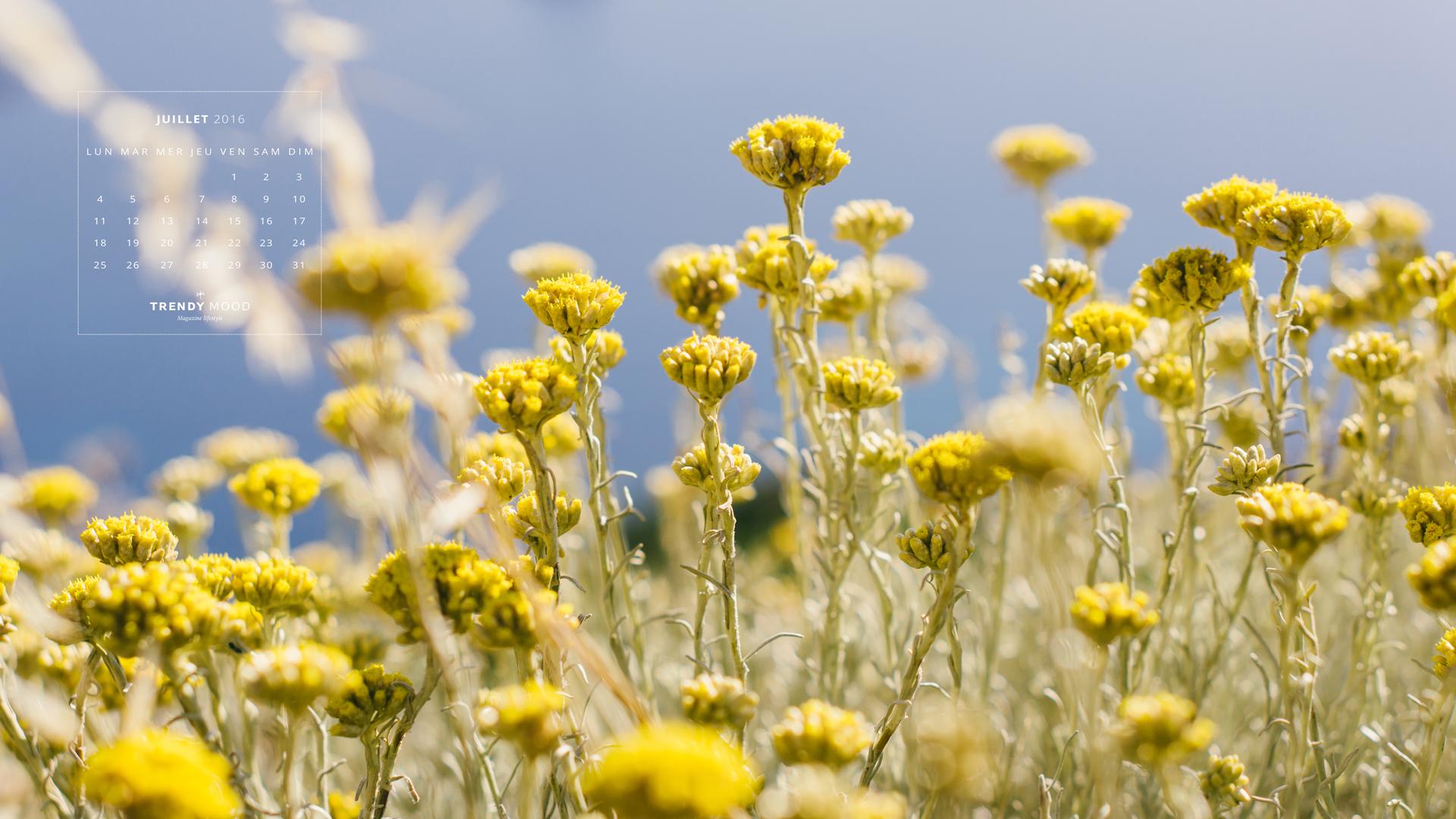 Fond d'écran - Fleurs d'immortelles