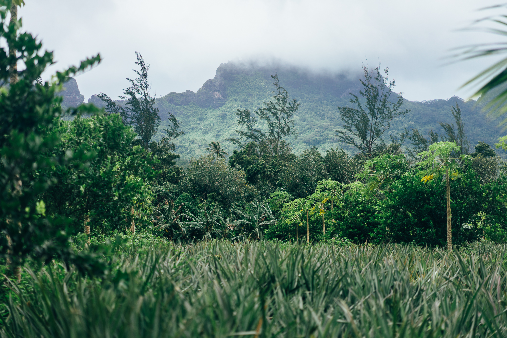 Voyage à Tahiti - Moorea - Ananas